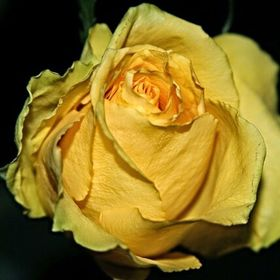 A friend use to give a yellow rose out and say. ..so you'll remember me. At his memorial I was given a last yellow rose in his behalf. And t...