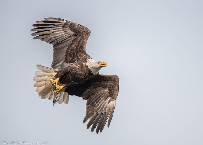 Blad Eagle Fishing by MWPhotography2 - Just Eagles Photo Contest