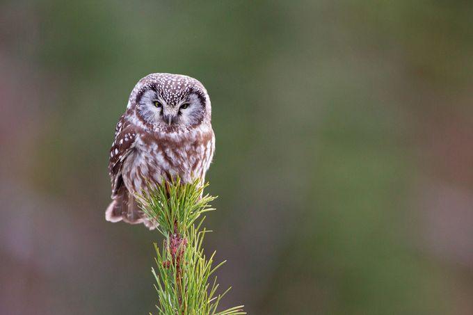 Boreal Owl by brandonbroderick