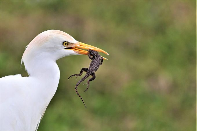 Need Life Insurance? - Geico (Egret and Lizard) by elenagonzalez_6866 - Food Chain Struggles Photo Contest