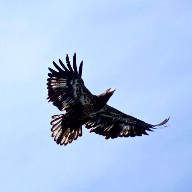 Juvenile Eagle in flight