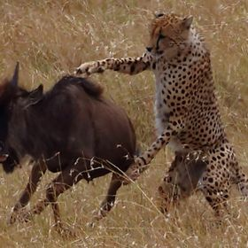 The cheetah watched from afar, picked out his prey, chased and grabbed the wildebeest. After a long struggle the wildebeest succumbed.