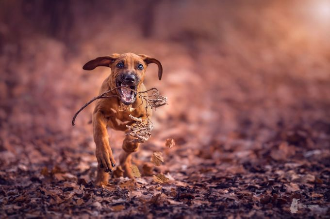 Rhodesian Ridgeback by Fotostyle-Schindler - Only Pets Photo Contest