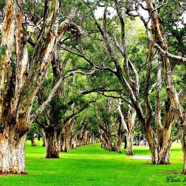 Centennial Park Sydney Path through the trees, over 200 years age.