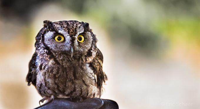 Baby Owl by ericschaerphotography - Beautiful Owls Photo Contest