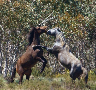 Wild Horses Snowy Mountains NSW
