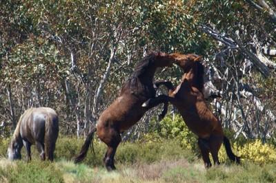 Wild Horse   Wild & Free  Snowy Mountains NSw