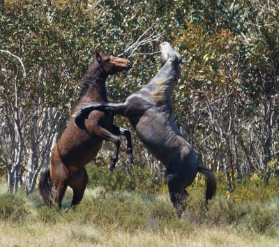 Wild Horses   Wild & Free  Snowy Mountains NSW
