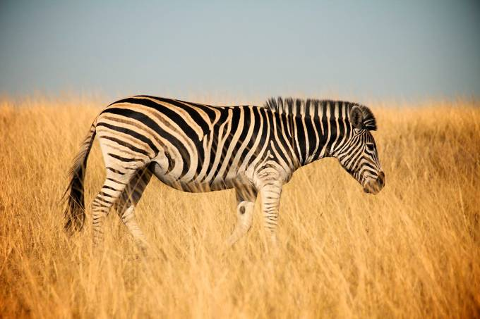 Solo Zebra by martinrosenkranz - Explore Africa Photo Contest