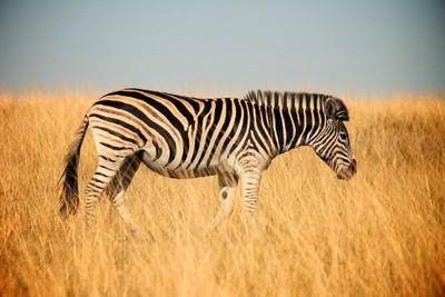Solo Zebra