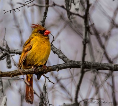 Winter Coat-Female Cardinal