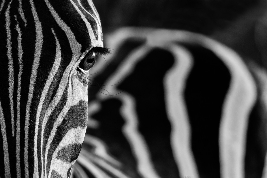 I got this beautiful shot of a burchells zebra in amazing side-lighting just after the sun rose a...