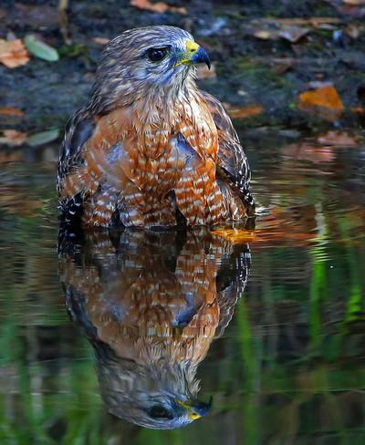 A Hawk Bath with reflection!