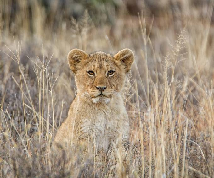 Lion 2-2 by CathyWithers-Clarke - Small Wildlife Photo Contest