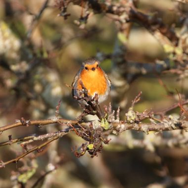 Who can you resist a picture of a Robin