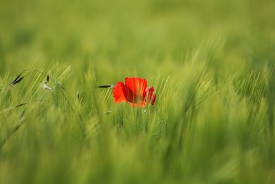 Poppy & Wheat