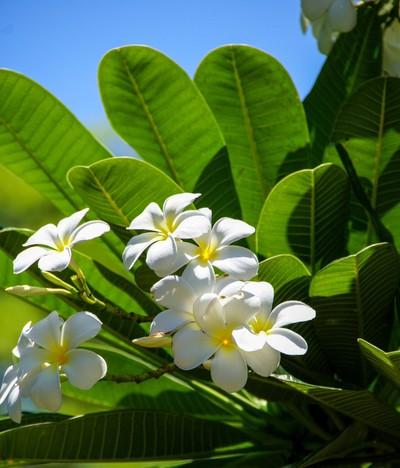 The beautiful fragrant Frangipani flowers in Tahiti.