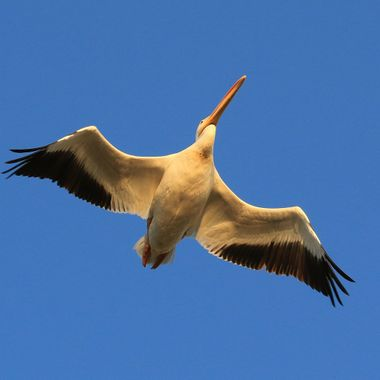 White Pelican IMG_0258