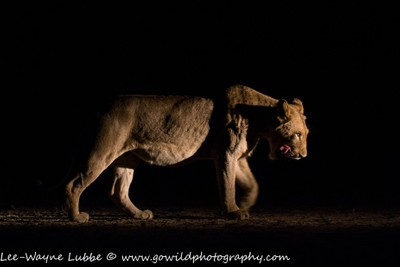 Lioness in the dark