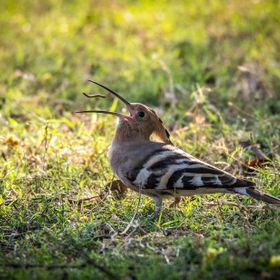 Common Hoopoe eating a worm in Keoladeo NP, India