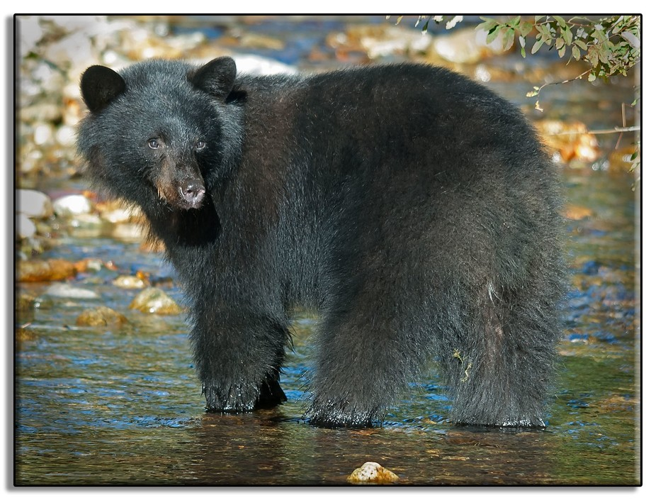 Minnekhada Park is famous for it's bear population.  There can be about 500 bear sightin...