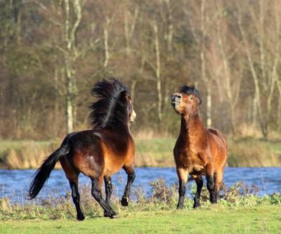 WIld horses fighting