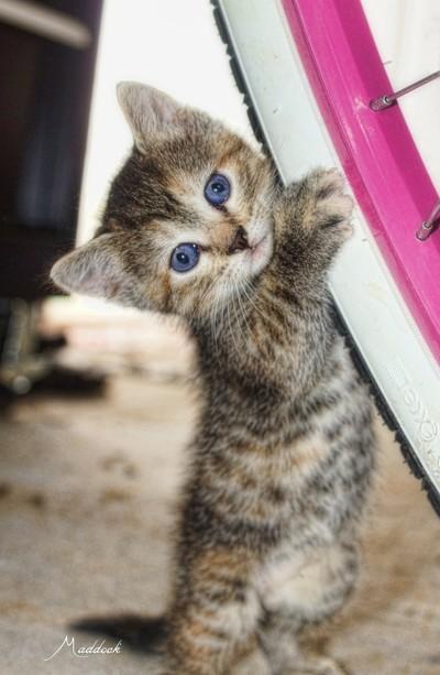 Tirered Kitten