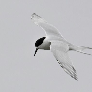 White-fronted tern in Flight