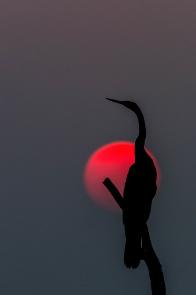 20161119-_E4I41Indian Darter in the sunset06