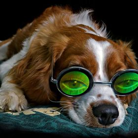 Albey is 7 months old and is resting after a good walk. He is wearing a pair of green 3D holographic glasses.  Nothing has been added or taken aw...