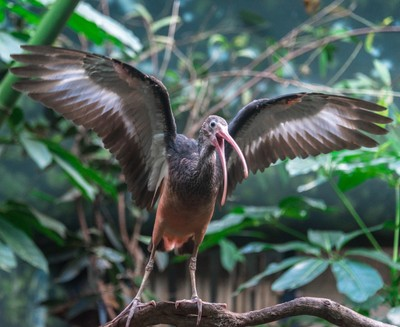 Juvenile Ibis Displaying