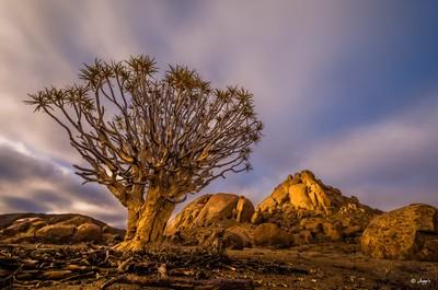 Quiver tree at sunrise