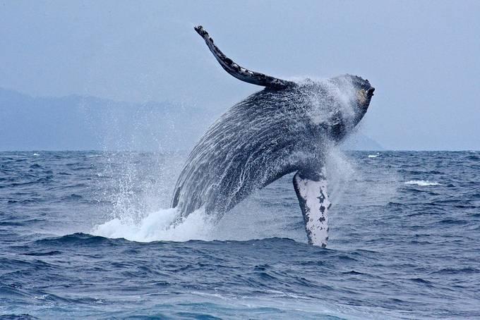 Humpbacked whale off Ecuador by IanEmmett - Big Mammals Photo Contest