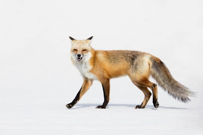 Red Fox by OutbackPhotoAdventures - Isolated Photo Contest