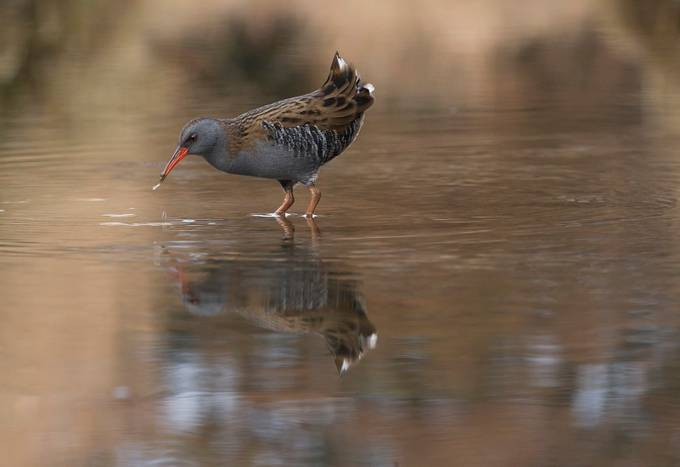 Water rail by Argatykites - Animals And Water Photo Contest