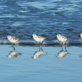 Least Sandpipers walk the wave edge looking for food.