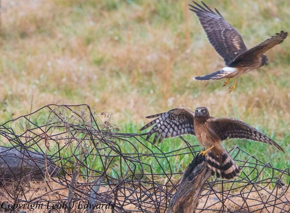 Two Hen Harriers fighting.