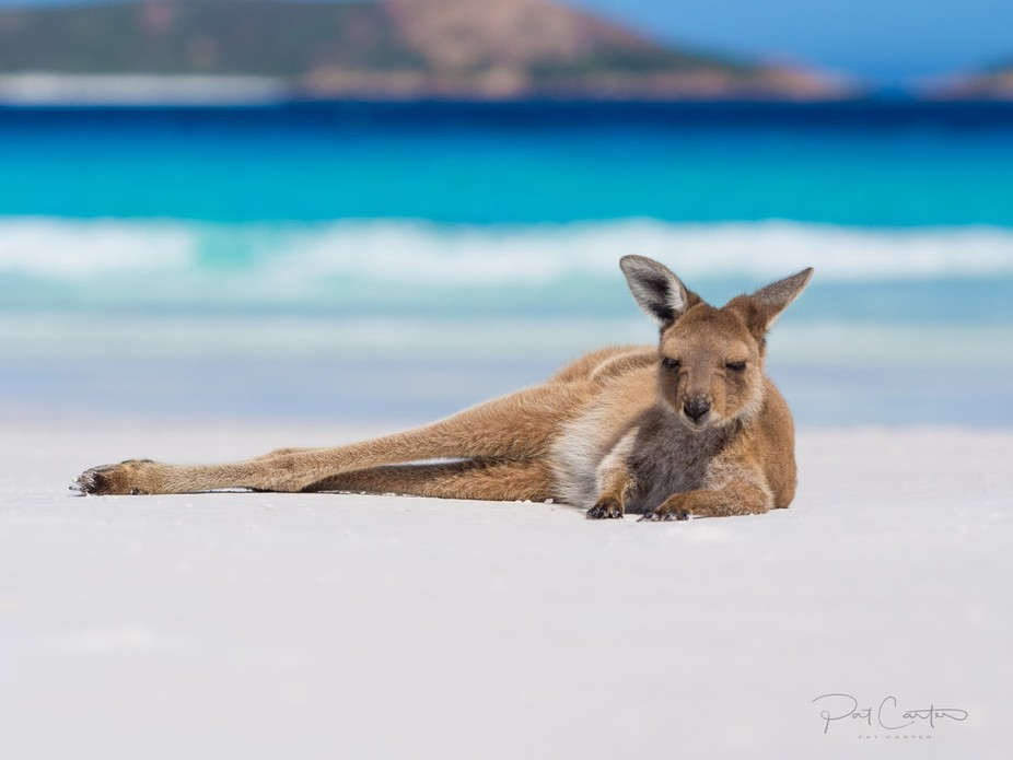 Joey lazing on the beach in Esperance at Lucky Bay, Western Australia