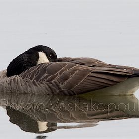 Taken at the marsh. A quiet fall afternoon; the river was like a mirror.  I loved this Canada Goose that was resting-yet still keeping on things....