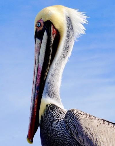 Pelican of San Luis Obispo