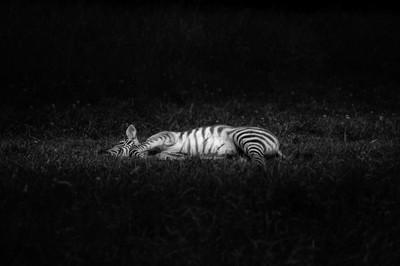 Young Zebra resting