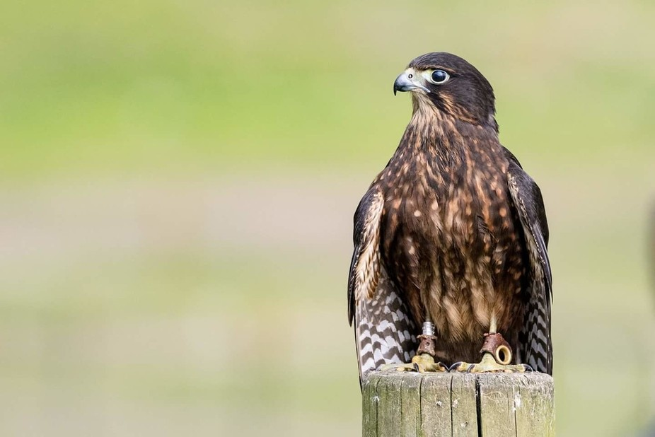 New Zealand Falcon looking for his next meal.