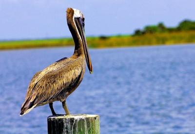 Pelican on Watch    IMG_7707aa