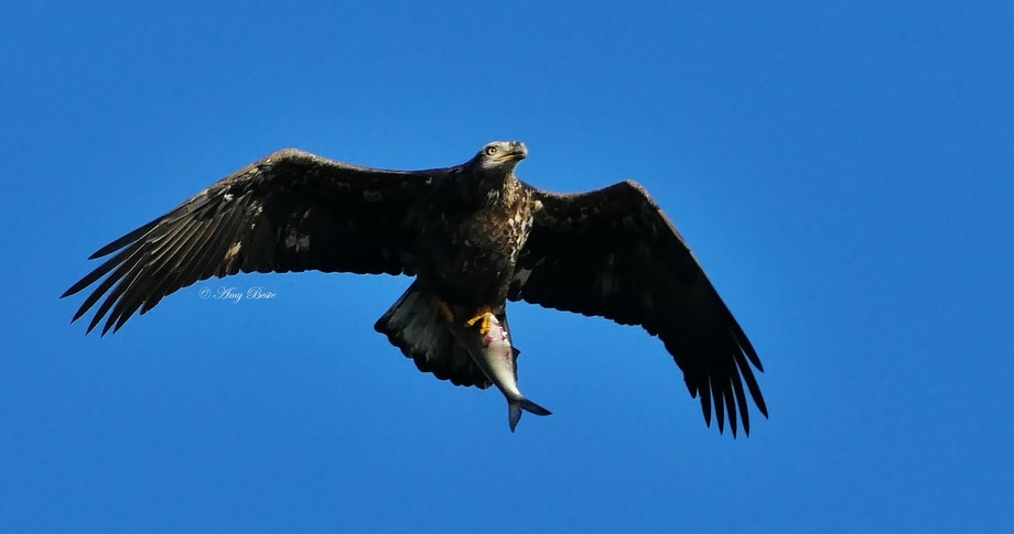 Juvenile Eagle after grabbing lunch from the Susquehanna River