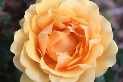 Detailed Rose