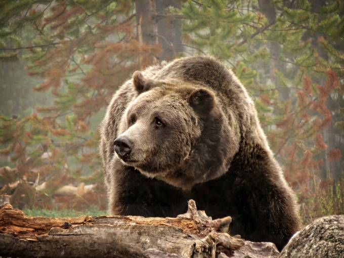 Grizzly  by donanzinger - The Brown Color Photo Contest