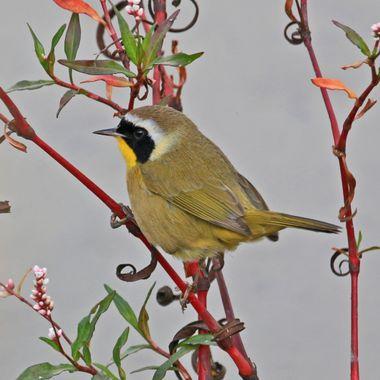 Common Yellow throat IMG_0866