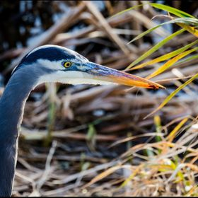 Beautiful close-up of a Blue Herring while walking through the Nisqually Wildlife Refuge