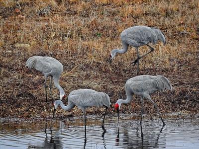 Group of Sandhill Cranes