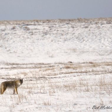 Coyote out hunting